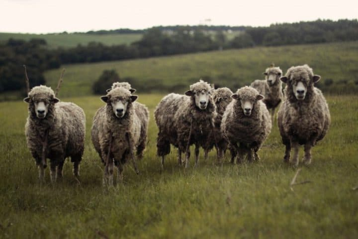 sheep-nature-flock